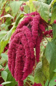 amarantus-roslina
